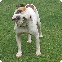 American Bulldog Mix Dog for adoption in Alpharetta, Georgia - JamesPSullivan
