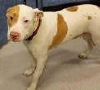 American Bulldog Mix Dog for adoption in Stafford, Virginia - AnnaBelle