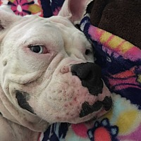 Boxer Dog for adoption in Austin, Texas - Meecie