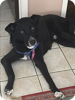 Collie/Australian Shepherd Mix Dog for adoption in Houston, Texas - Micky