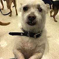Cairn Terrier/Chihuahua Mix Dog for adoption in Gilbert, Arizona - Sullivan