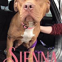 Adopt A Pet :: Sienna - Cheney, KS