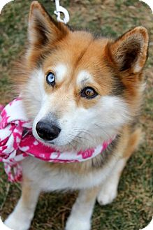 Husky Dog for adoption in Arlington, Virginia - Nia