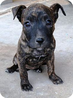 American Pit Bull Terrier/Shepherd (Unknown Type) Mix Puppy for adoption in Gilbert, Arizona - Trixie