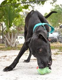 Whippet Mix Dog for adoption in Bradenton, Florida - Mila