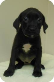 Labrador Retriever Mix Puppy for adoption in Gary, Indiana - Kim