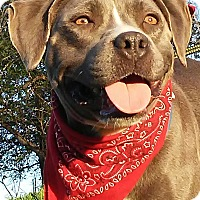 Adopt A Pet :: Ana - pocket-sized pittie girl - sommerville, MA
