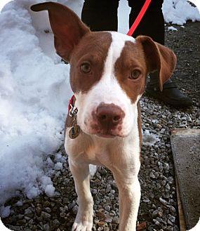 Pit Bull Terrier/Labrador Retriever Mix Dog for adoption in Berwick, Maine - Jesse James
