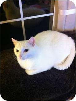 Domestic Shorthair Cat for adoption in Saint Albans, West Virginia - Cracker