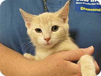 Domestic Shorthair Kitten for adoption in Diamond Bar, California - BELLA