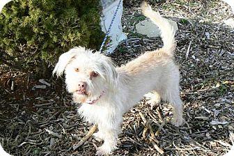 Shih Tzu/Terrier (Unknown Type, Medium) Mix Dog for adoption in Ridgely, Maryland - Paris