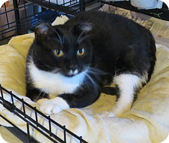 Domestic Shorthair Cat for adoption in Geneseo, Illinois - Boston