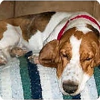Adopt A Pet :: Angel Baby - Phoenix, AZ