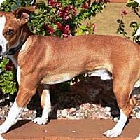 Adopt A Pet :: Chuckles - Gilbert, AZ