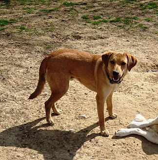 Boxer/Beagle Mix Dog for adoption in Columbia, Kentucky - Will