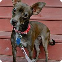 Adopt A Pet :: Pippa - North Little Rock, AR