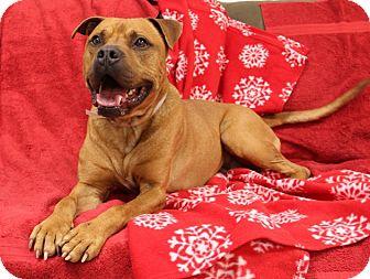Labrador Retriever Mix Dog for adoption in Brookhaven, New York - Nash