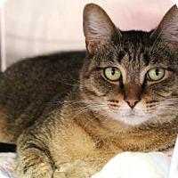 Domestic Shorthair Cat for adoption in Bellevue, Washington - Nala