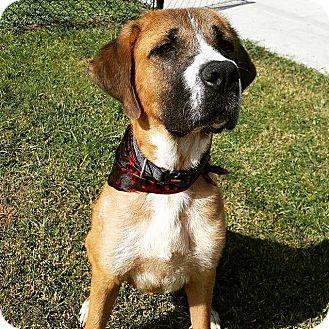 St. Bernard Mix Dog for adoption in Lehigh Acres, Florida - Sampson