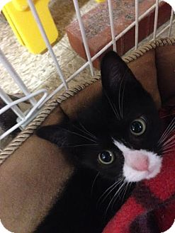 Domestic Shorthair Kitten for adoption in Cashiers, North Carolina - Cloyd