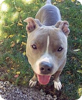 Pit Bull Terrier Mix Dog for adoption in Lowell, Massachusetts - Juice