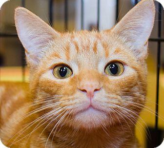 Domestic Shorthair Kitten for adoption in Irvine, California - Julius