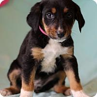 Adopt A Pet :: Kasey - Waldorf, MD