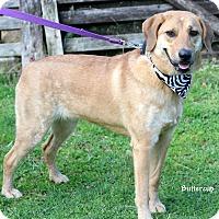 Adopt A Pet :: Buttercup - Dalton, GA