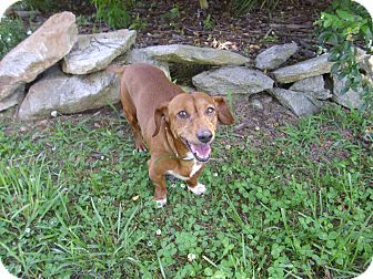 Dachshund/Fox Terrier (Smooth) Mix Dog for adoption in Lawndale, North Carolina - Brody