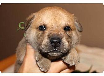 Belgian Malinois/Labrador Retriever Mix Puppy for adoption in Sinking Spring, Pennsylvania - Ripley