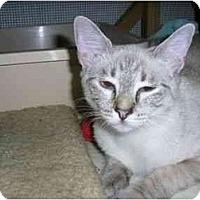 Adopt A Pet :: Nikia - New Port Richey, FL