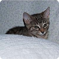 Adopt A Pet :: Stripes - New Egypt, NJ