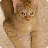 Adopt A Pet :: Cheezit - Byron Center, MI