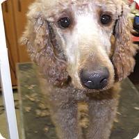 Adopt A Pet :: Benjamin(Benji) ADOPTED! - moscow mills, MO