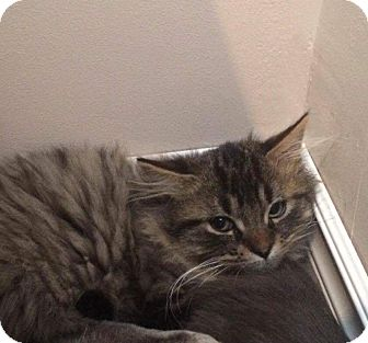 Domestic Longhair Cat for adoption in THORNHILL, Ontario - HAN