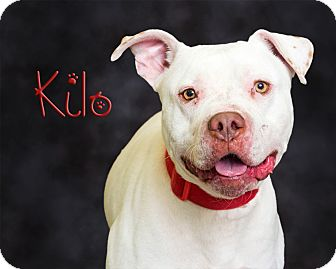 Pit Bull Terrier Mix Dog for adoption in Somerset, Pennsylvania - Kilo