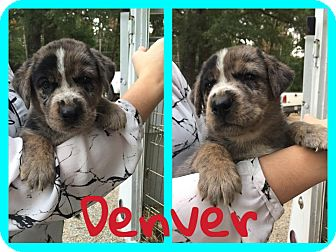 Australian Cattle Dog/Hound (Unknown Type) Mix Puppy for adoption in Brunswick, Maine - Denver