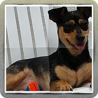 Jack Russell Terrier/Australian Cattle Dog Mix Dog for adoption in Weeki Wachee, Florida - Luca