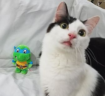 Domestic Shorthair Cat for adoption in Edmond, Oklahoma - Leonardo