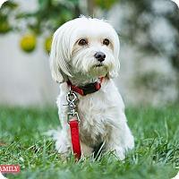 Adopt A Pet :: Lady Mac Beth - West LA, CA