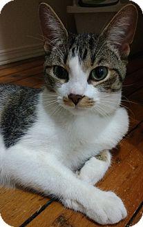 Domestic Shorthair Cat for adoption in Aylmer, Ontario - Frank