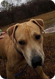 Labrador Retriever Mix Dog for adoption in Allentown, New Jersey - Zeus