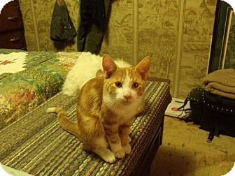 Domestic Shorthair Kitten for adoption in Huntsville, Ontario - Gingersnap - Born in May!