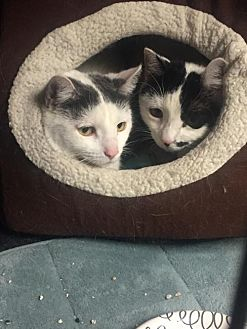 Domestic Shorthair Cat for adoption in New City, New York - Nina and Bella