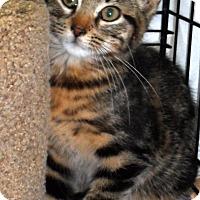 Adopt A Pet :: beautiful tiger - brewerton, NY