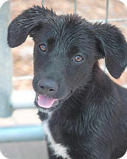 Australian Shepherd/Labrador Retriever Mix Puppy for adoption in Cranston, Rhode Island - Britta Peterson
