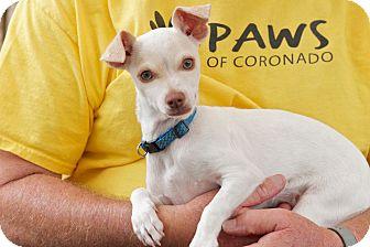 Chihuahua/Terrier (Unknown Type, Small) Mix Puppy for adoption in Coronado, California - Ringo