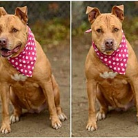 Pit Bull Terrier Dog for adoption in Chatsworth, California - LUNA