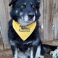 Siberian Husky/German Shepherd Dog Mix Dog for adoption in Apple Valley, California - Sierra