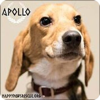 Beagle Dog for adoption in South Plainfield, New Jersey - Apollo